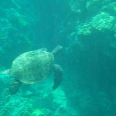 Sea turtle (honu)