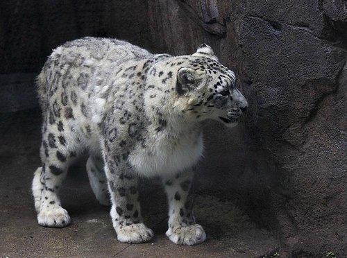 Leopardo branco (femea)