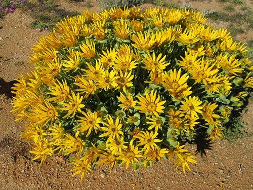 Flowers at Goegap