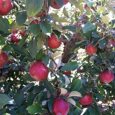 Jonathan apples!