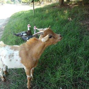 Cabras enanas sueltas