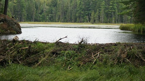 Beaver's den in the foreground