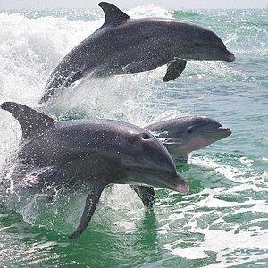 Triple dolphin
