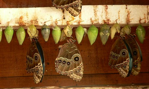 Mariposa morpho en estado de metamorfosis