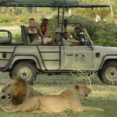 Lion of Saadani park,hooneymoon