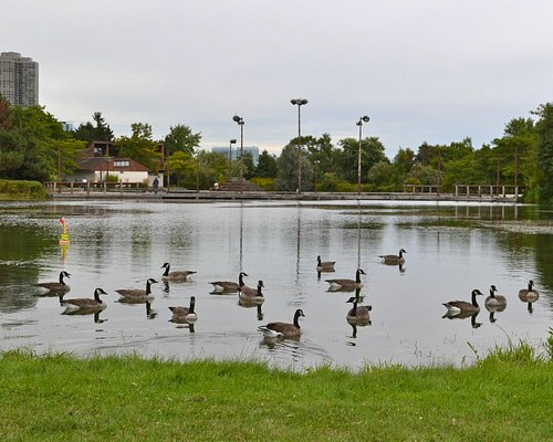 Canada Geese taking over this pond