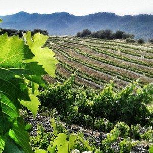 Foto viñas de Vega Aixalà