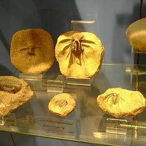 Colección de fósiles marinos