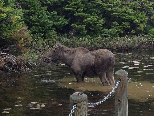 A Moose in the Duck Pond in Loop 2