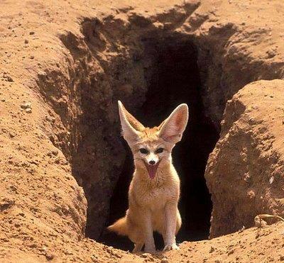 Fox/Fennec, The desert's Cute animal