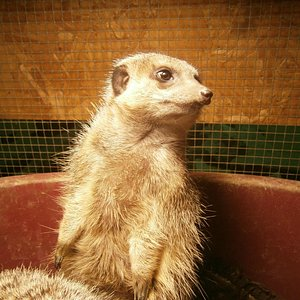 One of our Marvellous Meerkats