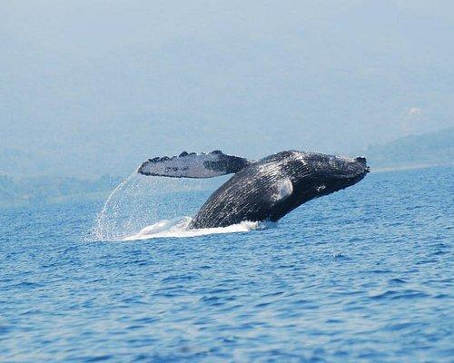 Marino Ballena National Park Tour-Ballena Jorobada, Humpback Whale
