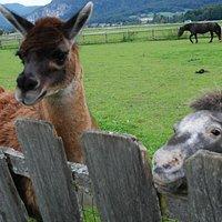 Sweet llama and pony