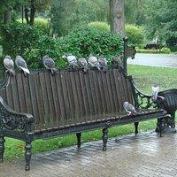 голуби под дождем