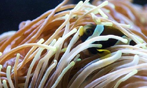 """Nemo"" - wide banded anemonefish"