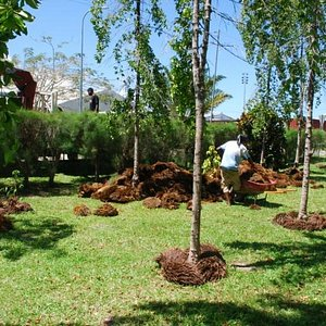 We used palm oil seed husks as compost to protect the tree roots in dry weather