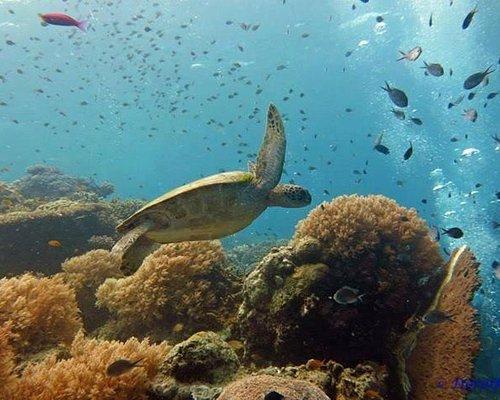 Turtles at Balicasag