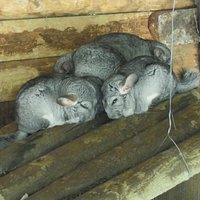 les chinchillas