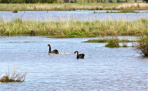 Swans on the water, Fisher's wetland