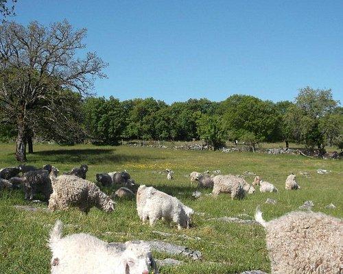 les chèvres angora en parcours sur le causse