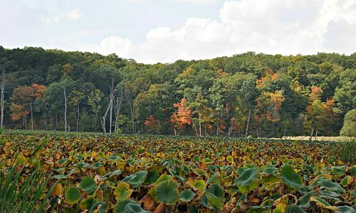 A sea of lily pads at Heron County Park