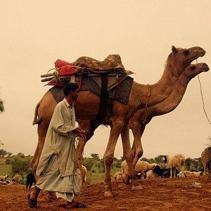 Camel with Camel Man