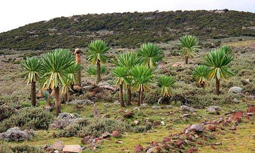 Lobelias on the Sanetti Plateau