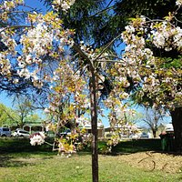 blossoms in the town hall gardens 2012