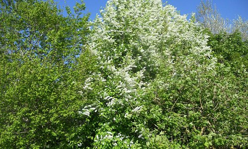 Our wood in spring - Bird Cherry, so lovely.
