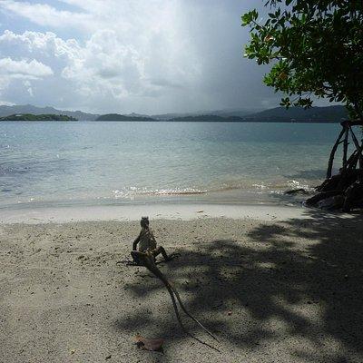 L'île aux iguanes