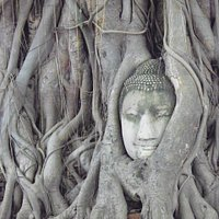The Buddha head in the tree