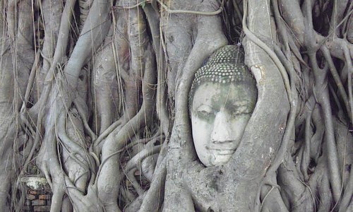 The Buddha head in the tree