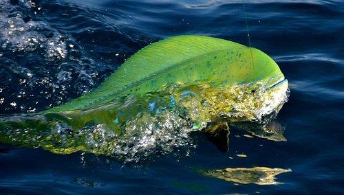 Dolphin Fish, AKA Dorado or Mahi Mahi