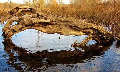 Driftwood reflection, Sudbury River.