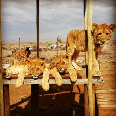 Our baby lions ♥