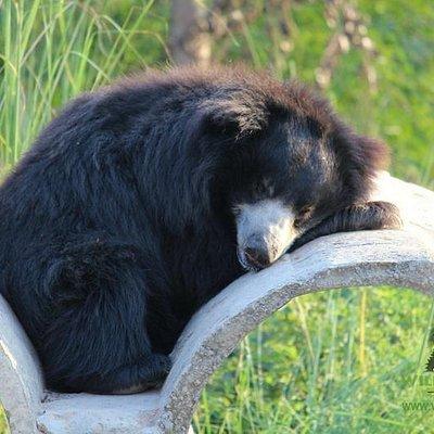 Bhagira Bear enjoying his afternoon siesta