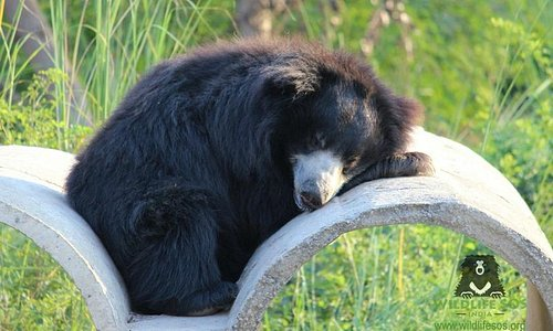 Bhagira Bear enjoying his afternoon siesta