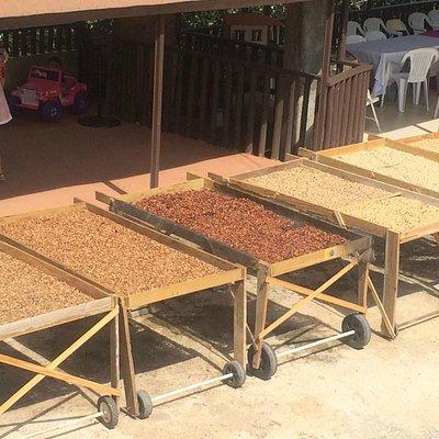 Coffee beans under the sun