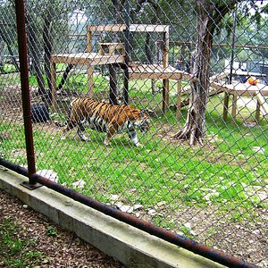 Tiger in his play area.