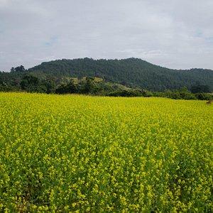 beautiful sarson ka phoolon bhara khet