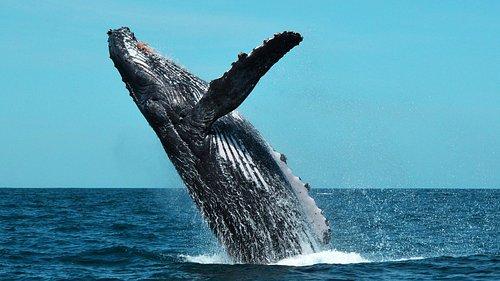 Breaching Adult Humpback Whale