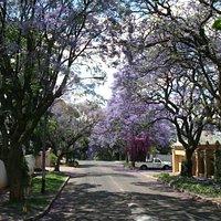 Jacarandas in bloom.