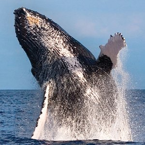 Whales guaranteed on certain Whale Watch dedicated trips or come back free