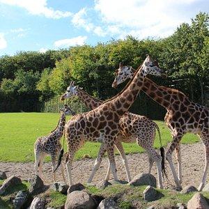 Giraffe at Aalborg Zoo