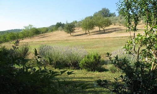 View of olive trees at Pornanino