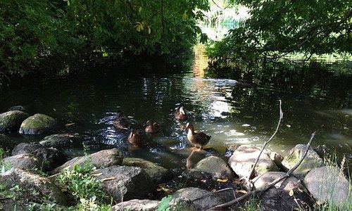 Утки в парке
