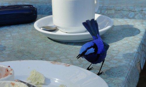 Blue Wren for tea