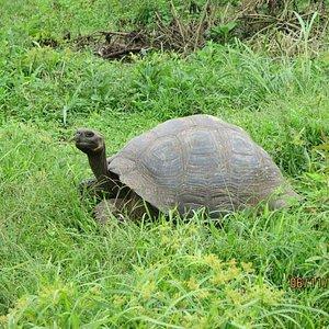 Tortuga gigante en Chato 2