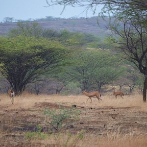 Chinkaras ( gazelles) at the Mayureshwar  Sanctuary