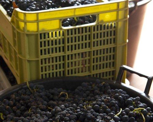 Uva per il rosso dell'Az. Agricola D'Ancona